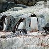 Group of Gentoo Penguins with Chicks
