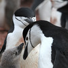 Chinstrap Penguin and chick at Hannah Point