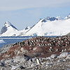 Gentoo Penguin colony with Antarctic scenery