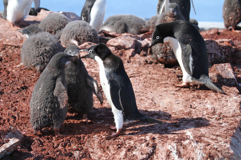 Adelie Penguin and chicks