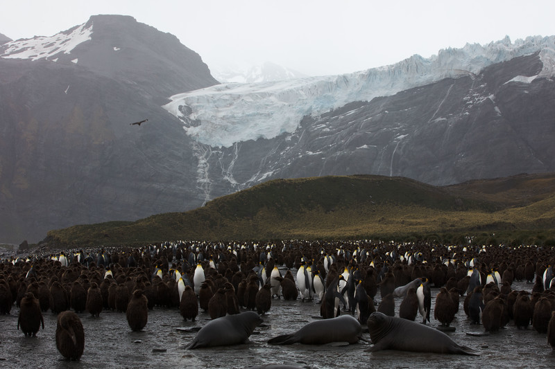 Emperor penguins on S. Georgia Island