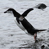 Chinstrap Penguin taking to the water!