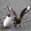 Gentoo Penguins chasing a Brown Skua which has stolen and partially eaten a chick