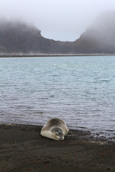 Leopard Seal on the beach on Deception Island with Neptune's Bellows in the background