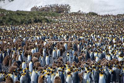 King Penguins on South Georgia Island