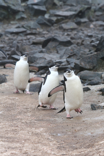 Chinstrap Penguins returning to their chicks.