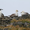 Nesting Southern Giant Petrels watched by a Chinstrap Penguin