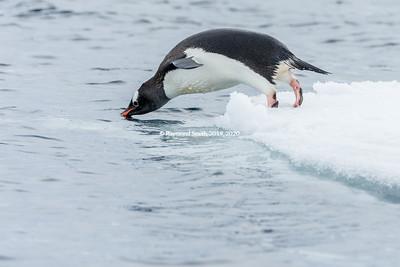 Gentoo Penguin Diving