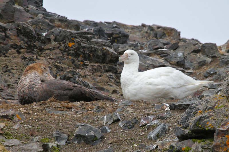 "A white morph Southern Giant Petrel - a so-called ""White Nellie"""