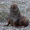 Antarctic Fur Seal with bat wing-like hind feet