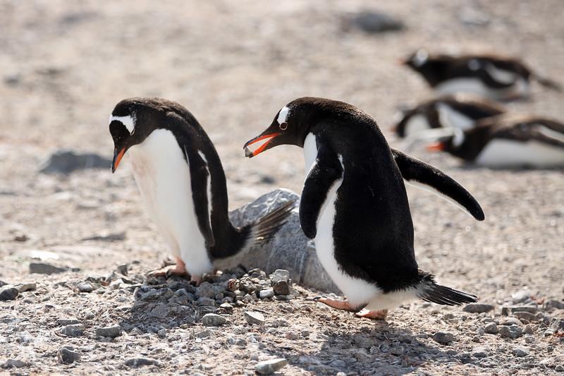 Gentoo Penguins, Errera Channel, Cuverville Island, Antarctica