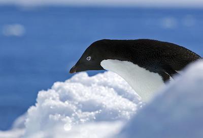 antarctica-weddel-sea-adelie-penguins-1
