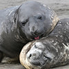 Two young male Southern Elephant Seals seeming to make up their differences