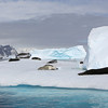 Seven Leopard Seals on a single ice floe