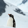 Majestic Penguin on Snowy Hill