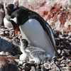 Gentoo Penguin and chicks on Pleneau Island