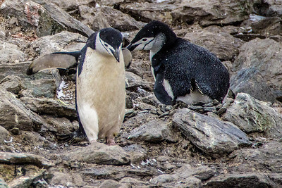 Chinstrap Penguins having a chat