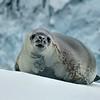 Weddell Seal Snowy Hillside