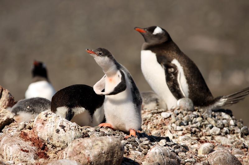 Gentoo Penguins, Greenwich Island, Yankee Harbour, Antarctica