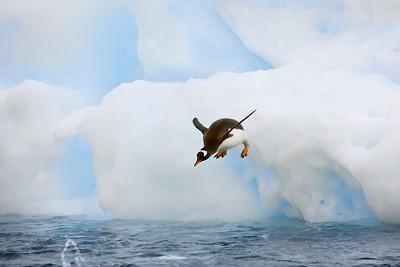 Diving Gentoo Penguin
