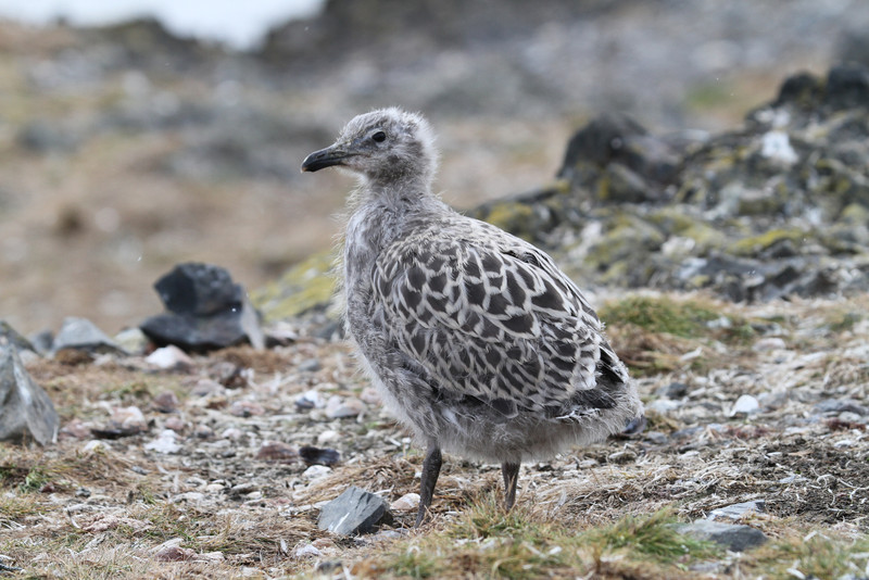 Kelp Gull chick