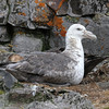 Southern Giant Petrel on its nest