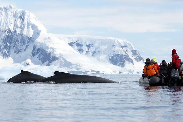 Humpback Whales, Orne Harbour, Antarctica