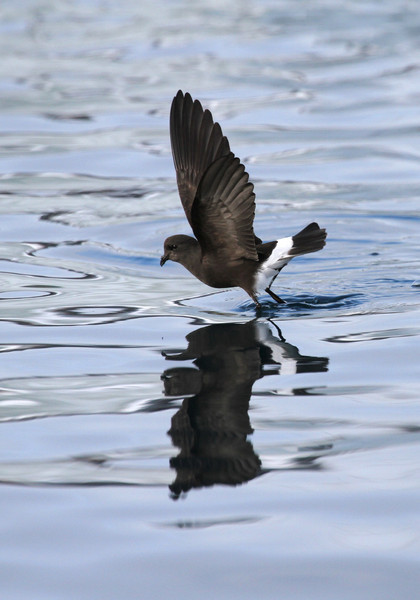 Wilson's Storm Petrel dancing across the water