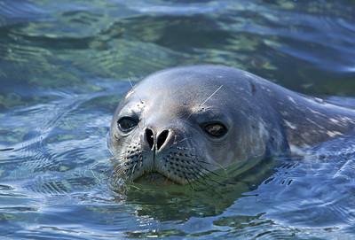 antarctica-weddel-sea-crabeater-seal-1