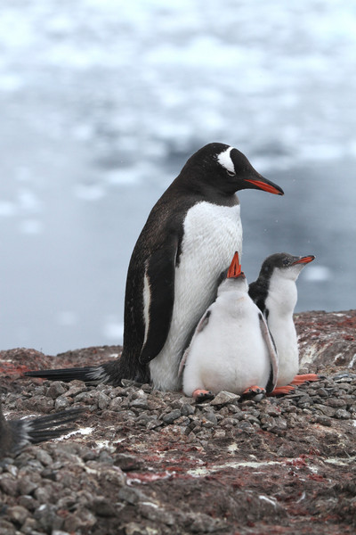 Gentoo Penguins and chicks
