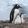 Gentoo Penguins and chicks