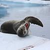 Leopard Seal on ice