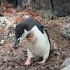 Chinstrap Penguin carrying a stone to enhance its nest