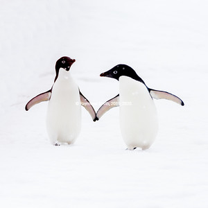 "Adelie Penguins Holding ""Hands"" (flippers)"