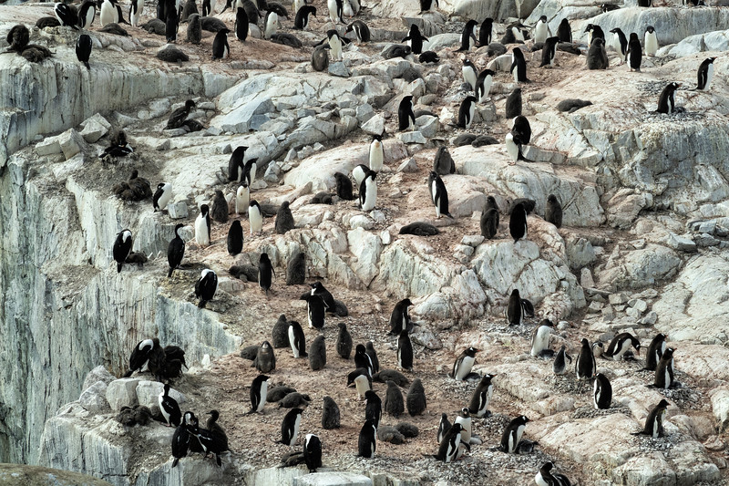 Gentoo Penguin Colony on Rocky Outcropping
