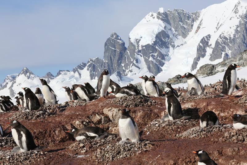 Gentoo Penguin colony with Antarctic scenery