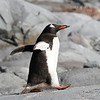 Gentoo Penguin striding out