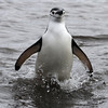 A Chinstrap Penguin coming ashore on Deception Island