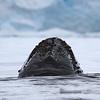 Humpback Whale snout