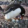 Gentoo Penguin with eggs - they are unlikely to hatch and the chicks would not survive.