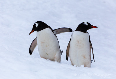 Two Penguins Looking
