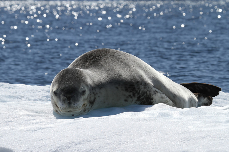 Leopard Seal on an ice floe off Pleneau Island