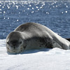 Leopard Seal on an ice floe off Pleneau Island