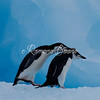 Chinstrap Penguins on Ice