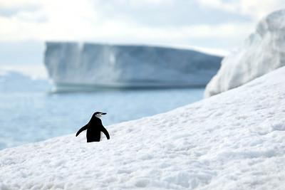 Chinstrap Penguins, Hydrurga Rocks, Gerlache Straight, Antarctica