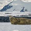 Crabeater Seal on Ice Sheet