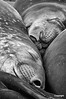 SouthGeorgia_SleepingElephantSeals_BW1808