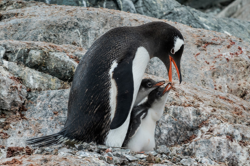 Gentoo Penguin Feeding Chicks