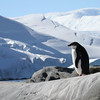 A lone Adelie Penguin on Pleneau Island