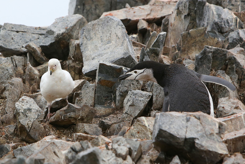 Snowy Sheathbill scavenging